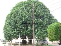 درخت کهنسال انجیر بنگال