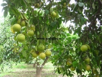 درخت پر محصول گریپ فروت