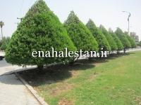 درختان کنوکارپوس