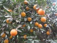 درخت نارنگی پیوندی