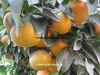 نارنگی پر محصول کینو