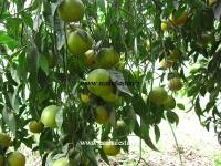 درخت نارنگی کینو