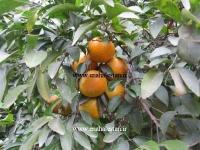 فروش نارنگی کینو