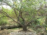 فرم درخت کنار هندی