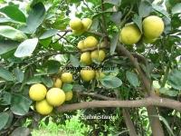 درخت لیمو ترش