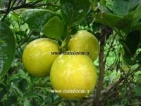نهال لیمو ترش