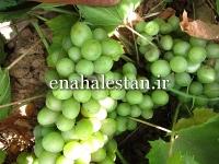 انگور سبز