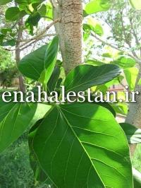 برگ انجیر بنگال