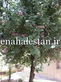 درخت گلدار ارغوان
