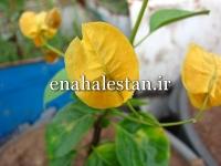 نهال گل کاغذی زرد