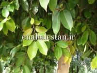 درخت همیشه سبز جمبو