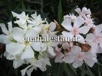 گل سفید و گل بهی خرزهره