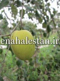 کنار هندی سیبی