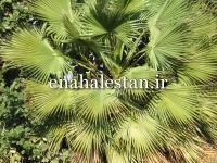 درخت نخل ابوجهل
