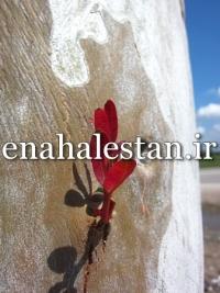 تنه درخت اکالیپتوس