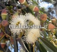 میوه اکالیپتوس