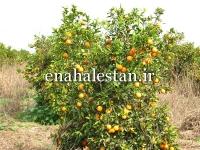 درخت پرتقال دزفول