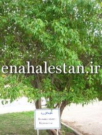 درخت تکوما