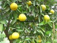 درخت نارنگی پر