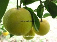 فروش نارنگی پرل