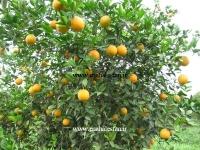 پرتقال النسیا