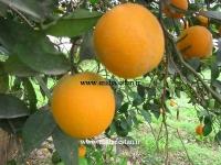 پرتقال شهسوار