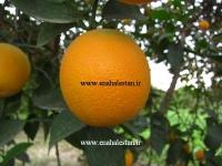 پرتقال سیاهورز