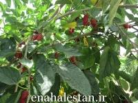درخت شاه توت توت سیاه
