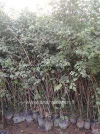 درخت ششم