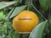 نارنگی شیرین و ترش کینو