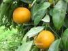نارنگی خارو