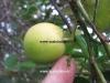 لیمو عمانی لیمو لایم
