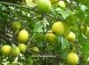 درخت لیمو ترش سنگی