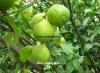 لیمو ترش مجارستانی