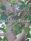 ساقه انجیر بنگال