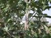 درخت لول