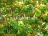 گلدهی درخت برهان