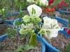 نهال گل کاغذی سفید