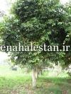 درخت جمبو