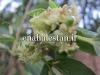 شکوفه درخت کنار