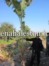 درخت موز