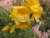 تکوما گل زرد
