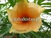 گل تیویتیا