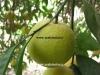 میوه نارنگی پرل