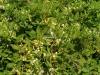 گلهای امین لدوله نهالستان سبزینه