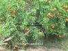 میوه شیرین و آبدار تانجلو