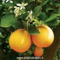 پرتقال والنسیا دزفول