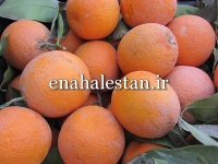 پرتقال دزفول