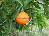 نارنگی تانجلو