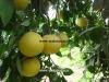 میوه های گریپ فروت